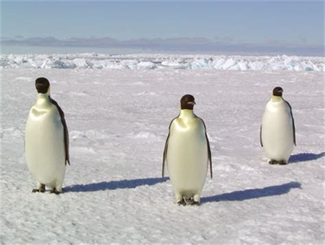 study global climate trends threaten antarctic penguins
