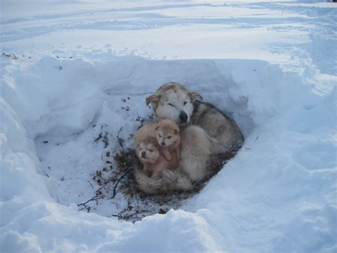 Alaskan Malamute and her puppies in the snow photo and ...