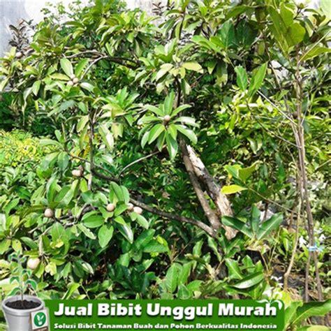 Jual Bibit Buah Unggul Bogor jual bibit sawo jumbo unggul agro bibit tanaman