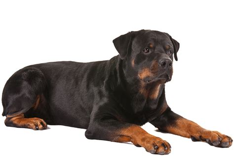rottweiler breed info rottweiler breed information rottweiler rottweiler breed and breeds