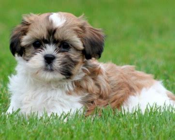 havanese and shih tzu havashu mix of havanese and a shih tzu
