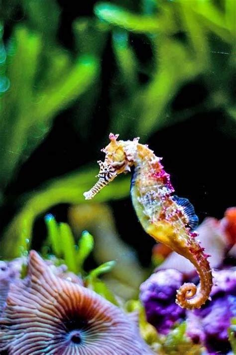 colorful seahorse zebra seahorse colorful hippocus zoos
