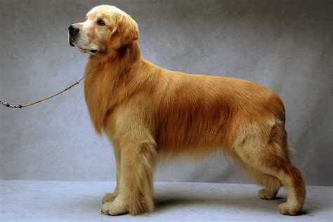 real golden retriever golden retriever prof chris daly s
