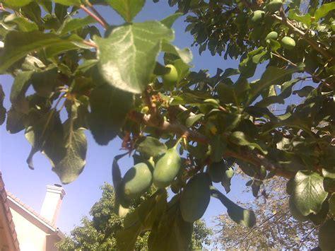 how to identify fruit trees forum identify this tree