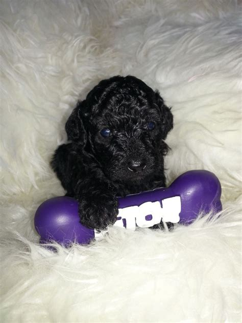 poodle puppies for sale poodle puppies for sale car interior design
