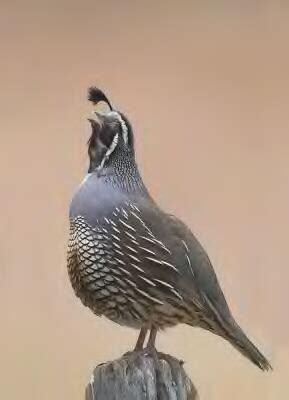 the quail it s habits and habitats