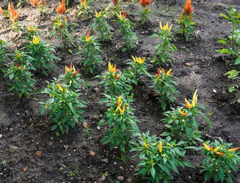 Garten Paprika Pflanzen by Paprika Pflanzen Paprikaschoten Aus Dem Eigenen Garten