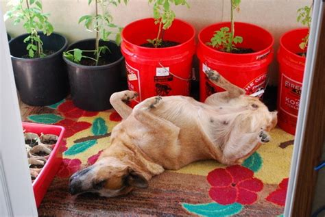 dogs tomatoes indoor tomato garden how to grow tomatoes indoors the plant eggs and coffee indoor