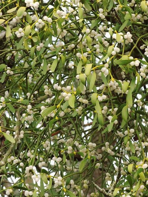 mistletoe parasite mistletoe berries plant public