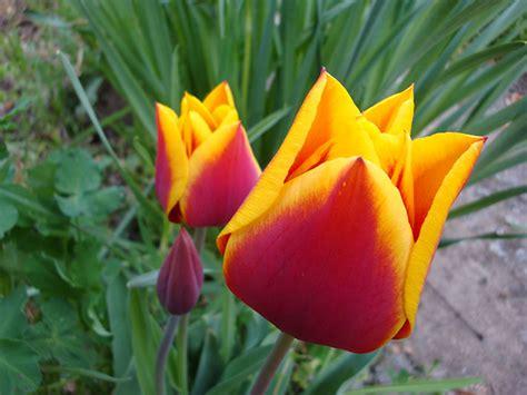 fiore tulipano tulipano consigli coltivazione e cura