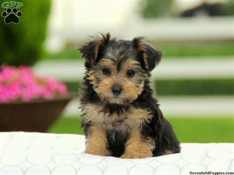 yorkie poos for sale in pa 1000 images about loving designer puppies for sale on morkie puppies for