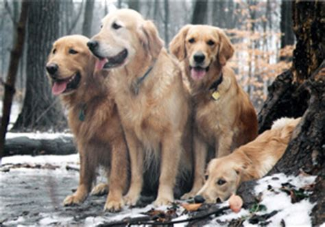 charis golden retrievers golden retriever breeders canada s guide to dogs golden retrievers