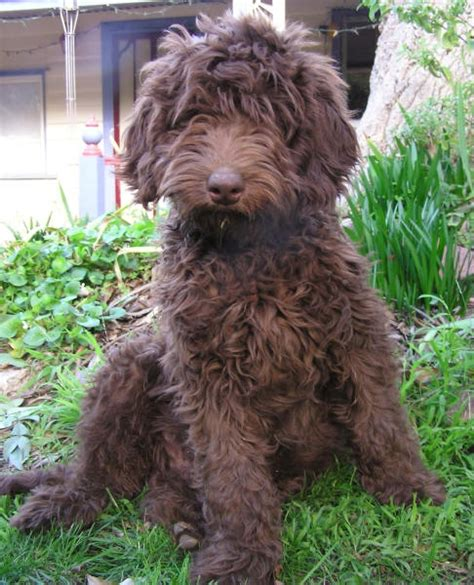 pookie doodle puppy the 25 best chocolate labradoodle ideas on