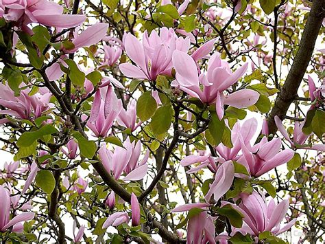 quot magnolia tulip tree quot by george cousins redbubble