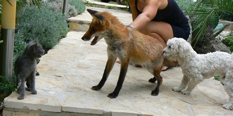 are foxes cats or dogs fox vulpes vulpes saving fox cub mediterranean gardens and nature