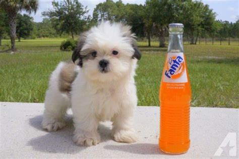 bichon shih tzu teddy shih tzu bichon teddy bichon shih tzu mix puppies pictures breeds picture