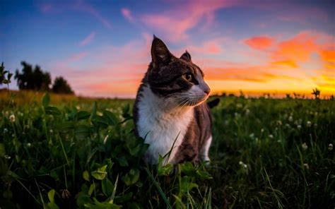 cat wallpaper hd for mobile 4k hd wallpapers gorgeous little cat and sunset 4k full hd desktop