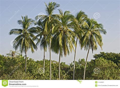 cluster exeter 9 tree cluster of palm trees stock image image of tropical 17449327