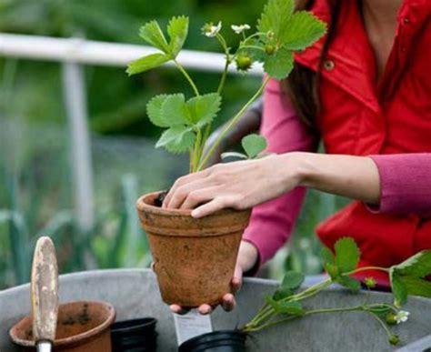 Tusukan Buah Pot Bunga harga tanaman buah dalam pot non tabulot lengkap