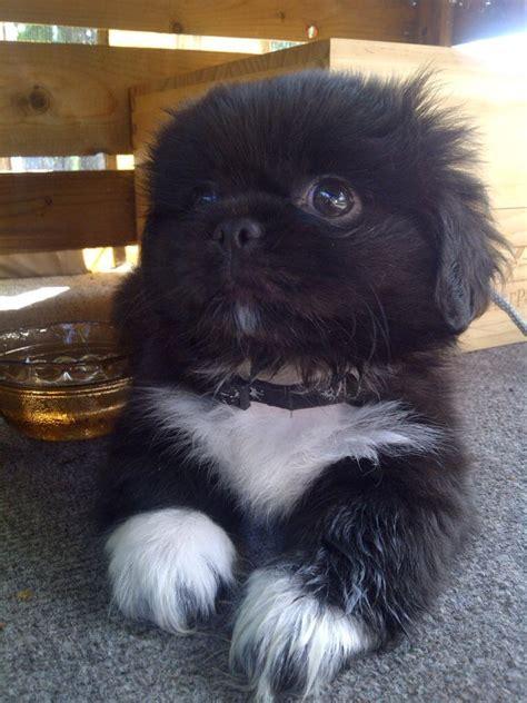 shih tzu and weenie mix baby trey micro tea cup pekingese puppy treats for
