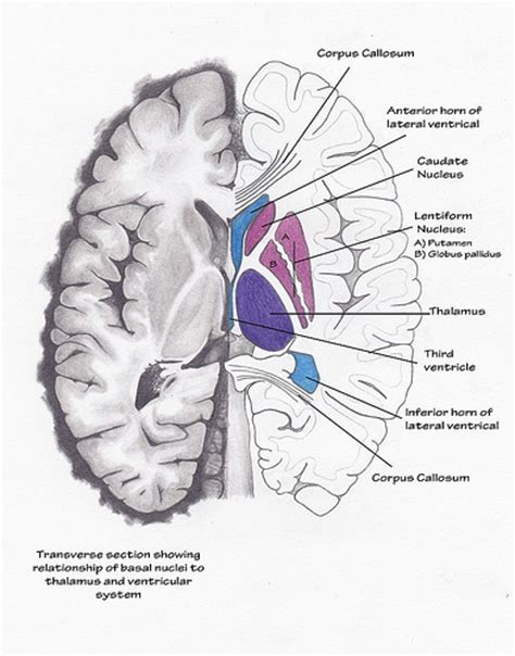 transverse brain section transverse section of brain pencil water colour pencil
