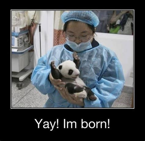 Yay Meme - yay im born cute funny pandas pics bajiroo com