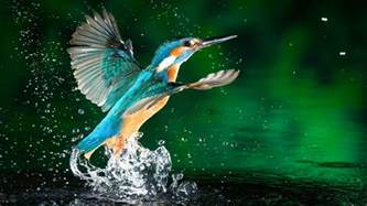 kingfisher bird in water drops wallpapers and images