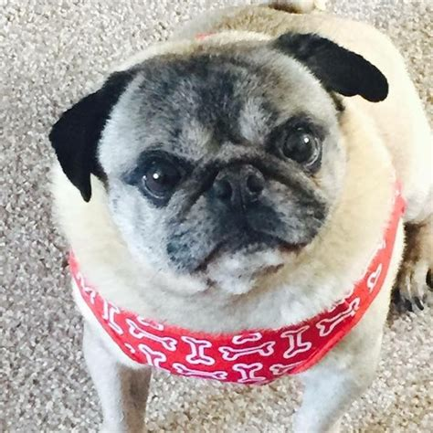 pugs for sale in delaware pug for sale jarrow tyne and wear pets4homes