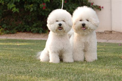 top 10 non shedding dogs breeds picture