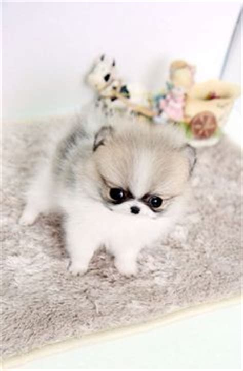pomeranian puppies for free adoption in chennai teacup pomeranian husky puppies micro white wallpaper х pomeranian
