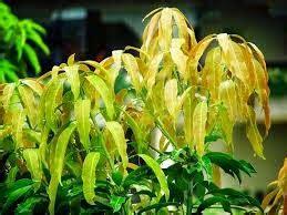 Obat Herbal Untuk Uci Uci manfaat daun mangga sebagai obat alami herbalnewspedia