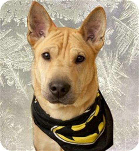 shar pei german shepherd mix puppies boone adopted 108 cincinnati oh german shepherd shar pei mix