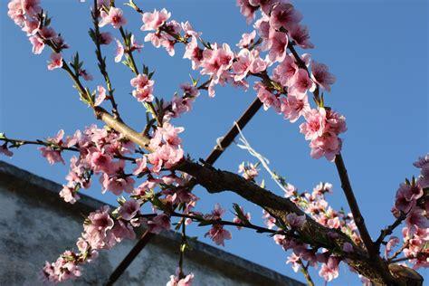 mandorlo fiorito altre immagini di alberi educazione ambientale a scuola