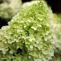 Flowers Shop Limelight Panicle Hydrangea Hydrangea Paniculata Proven Winners