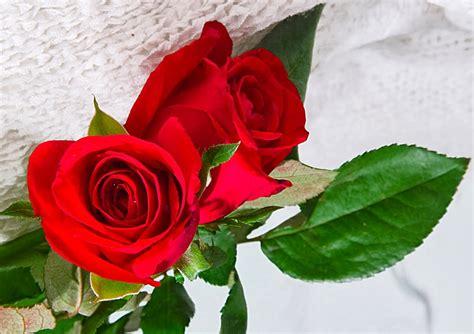 gambar bunga mawar cantik cocok  wallpaper gambar
