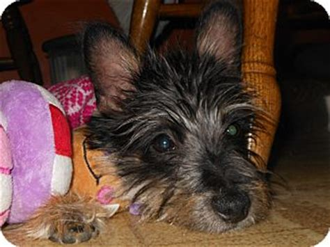 yorkie and scottish terrier mix pippa adopted puppy whiting in yorkie terrier scottie scottish