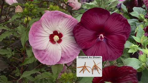 cottage farms hibiscus cottage farms iconic jumbo hardy hibiscus duo on qvc
