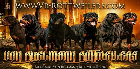 rottweiler breeders in california ruelmann rottweilers inc german rottweiler puppies for sale rottweiler breeder