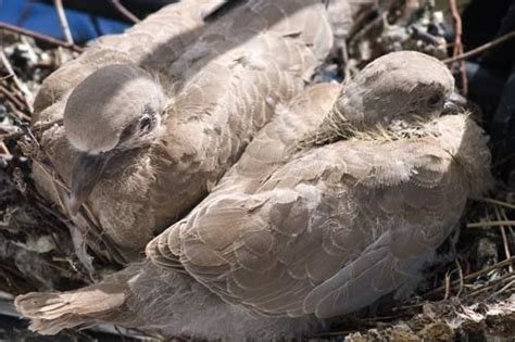 collared doves in the nest quillcards blog