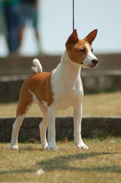 breed expectancy basenji 7 breeds picture breeds picture