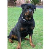 Most Beautiful Rottweiler Dog In Park With