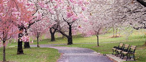cherry blossom festival international cherry blossom festival images pictures