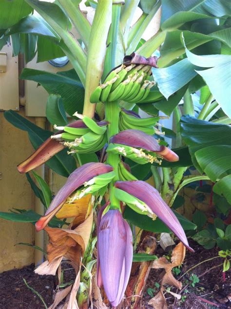 common backyard trees common backyard trees banana trees 28 images backyard with lounge chairs and