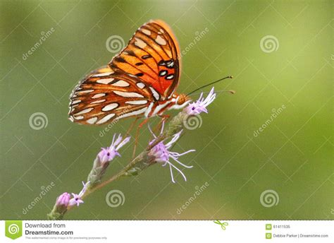 Sc Myrina Butterfly Top Stok White orange and white butterfly stock image image of field 61411535