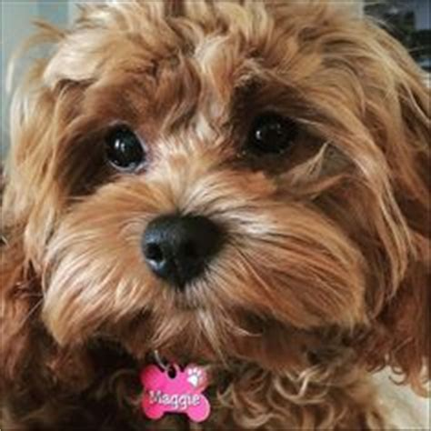 dogs oodle 1000 images about oodle cavoodle cavapoo on doodle poodle mix and