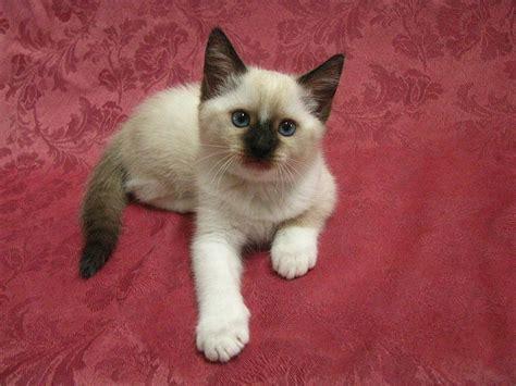 x ragdoll kitten sweet snowshoe x siamese x ragdoll blue