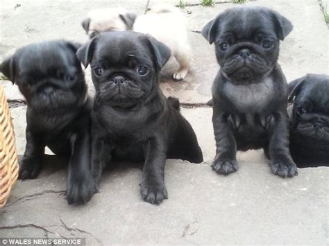 buying a pug puppy uk thug who punched a pedigree pug breeder and stole a puppy is jailed for five years