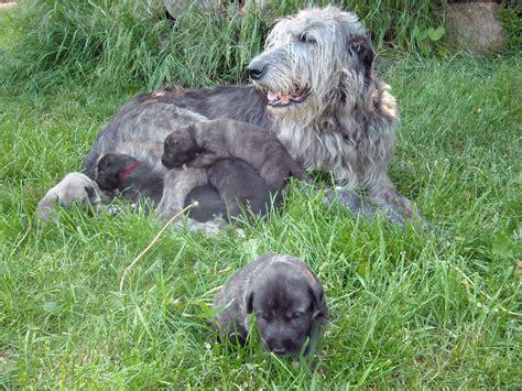 wolfhound puppies wolfhound wolfhound
