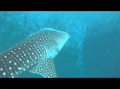 squalo volante radiocomandato ad elio air swimmers doovi
