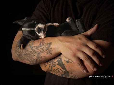 free boston terrier puppies free boston terrier puppies 32 hd wallpaper dogbreedswallpapers